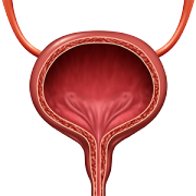Urinary Sphincter